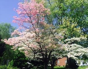 Quincy in bloom