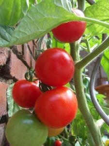 tomato-1086553_960_720